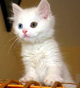 Turkish Van CAT 1