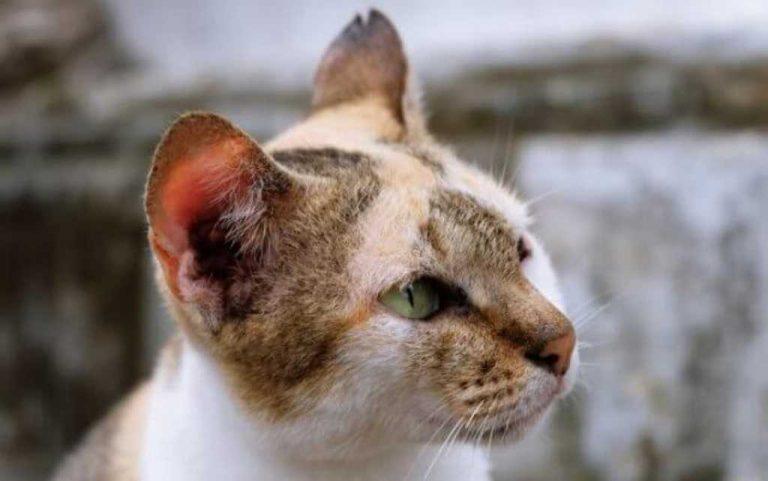 ¿Que causa la Tiña en los gatos?