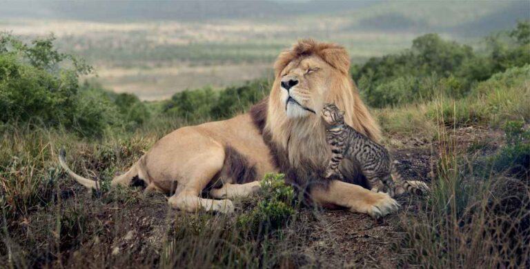 ¿Qué tiene en común su gato con los leones?