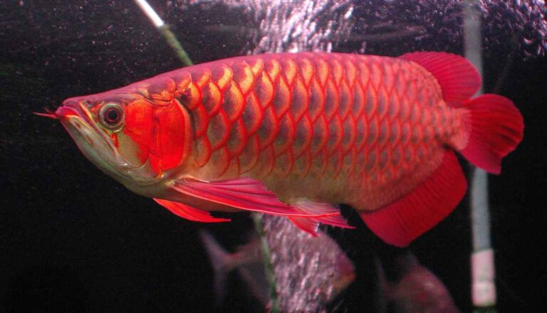 Cómo criar peces Arowana desde casa