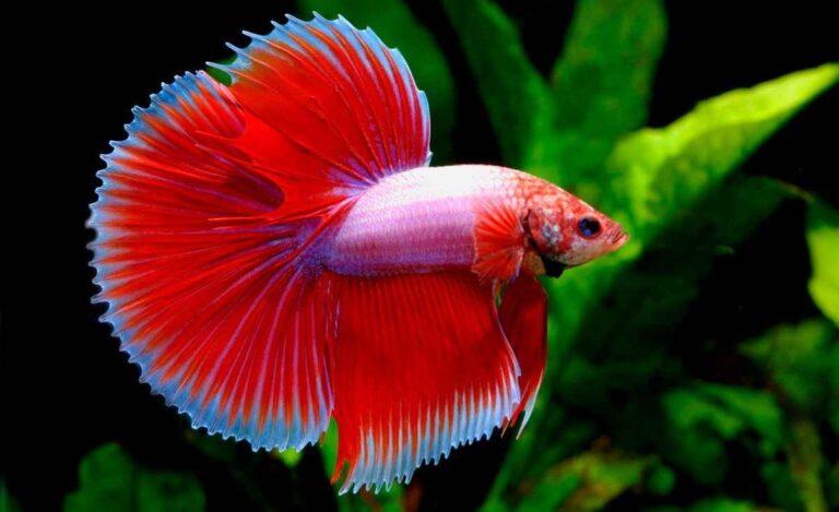 ¿Interesado en un pez Betta?