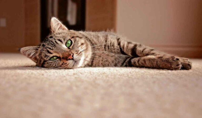 Diferencias entre un gato callejero y uno de raza, cuidados, características, etc.