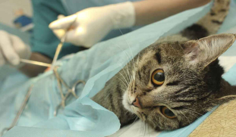 ¿A qué edad se debe de castrar a gato?