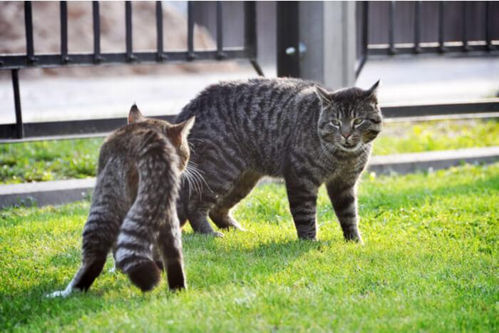 Razones por las que los gatos pelean
