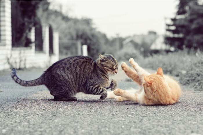 Gatos jugando o peleando