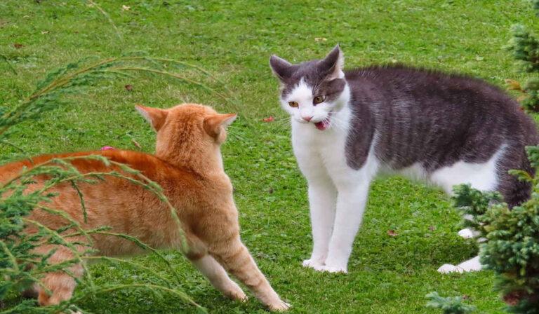 ¿Mis gatos están jugando o peleando?