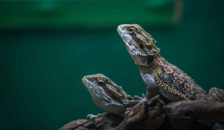 ¿Qué comen los geckos?