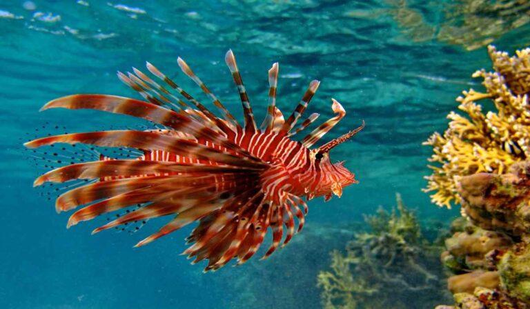Perfil de la especie de pez león