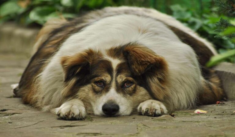 Cómo prevenir la obesidad en los perros